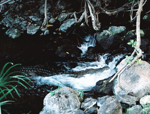 Crocodilul gura-casca