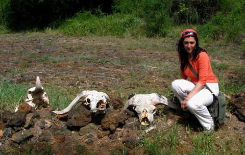 Cranii de buffalo